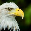 American Bald Eagle(Color)