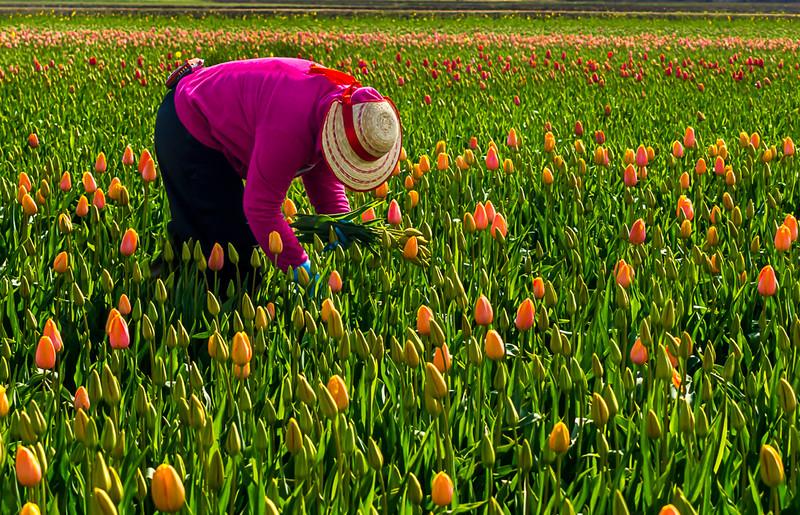 Tulips Picker