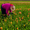 Tulips Picker