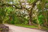 Secession Oak 3