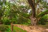 Secession Oak 2