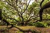 Beaufort Live Oak