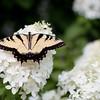 Easter Tiger Swallowtail Butterfly on PeeGee Hydrangeas