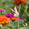 Eastern Tiger Swallowtail Butterfly enjoying nectar from Zinnia