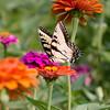 Eastern Tiger Swallowtail Butterfly enjoying nectar from Zinnia