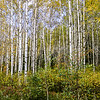 White Birch Trees in Fall