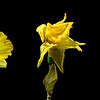 The Daffodil's Story