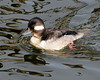 Bufflehead Duck, Female