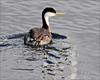 Westerm Grebe Duck