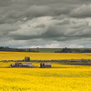 Old Barn in Canola Field