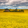 Homestead in Canola Field