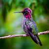 Anna Humming Bird