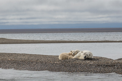 Polar Bear mother and cub lying