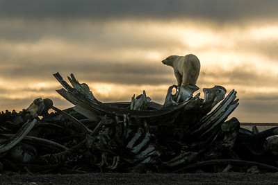 Lone bear on top of the bone pile - 3