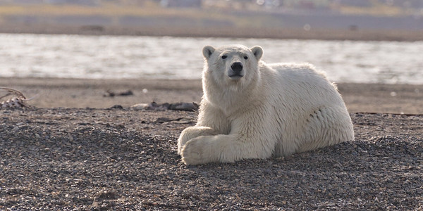 Polar Bear lying and staring into distance