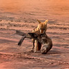 Golden Jackal protecting his kill Namibia Africa