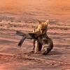 Golden Jackal protecting his kill Namibia Africa