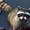 Mama Racoon Eugene OR