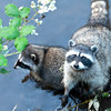 Mama _amp_ Baby Racoon Smiling for Camera 1527x1200