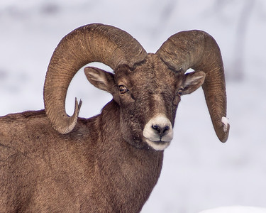 Bighorn Sheep of Yellowstone