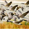 Lots of Canadian Geese in flight into this area. Captured along the Santa Ana River in Yorba Linda
