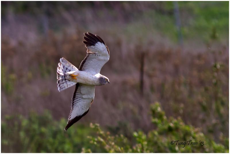 Male Harrier