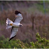 Male Harrier