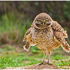 "Breeding: The nesting season begins in late March or April. Burrowing Owls are usually monogamous but occasionally a male will have 2 mates. Courtship displays include flashing white markings, cooing, bowing, scratching and nipping. The male performs display flights, rising quickly to 30 meters (100 feet), hovering for 5 to 10 seconds, then dropping 15 meters (50 feet). This sequence is repeated many times. Circling flights also occur. Burrowing Owls nest underground in abandoned burrows dug by mammals or if soil conditions allow they will dig their own burrows. They will also use man made nest boxesplaced underground. They often line their nest with an assortment of dry materials. Adults usually return to the same burrow or a nearby area each year. One or more ""satellite"" burrows can usually be found near the nest burrow, and are used by adult males during the nesting period and by juvenile Owls for a few weeks after they emerge from the nest. 6 to 9 (sometimes up to 12) white eggs are laid a day apart, which are incubated for 28-30 days by the female only. The male brings food to the female during incubation, and stands guard near the burrow by day. The care of the young while still in the nest is performed by the male. At 14 days, the young may be seen roosting at the entrance to the burrow, waiting for the adults to return with food. They leave the nest at about 44 days and begin chasing living insects when 49-56 days old."