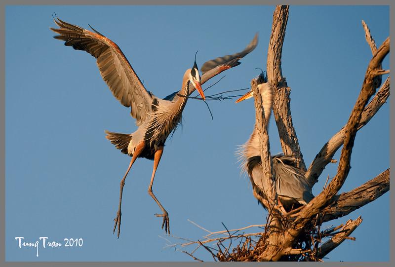 Great Blue Heron nesting. Captured at Bolsa Chica Ecological Reserve