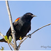 Red-shoulder blackbird (Male)