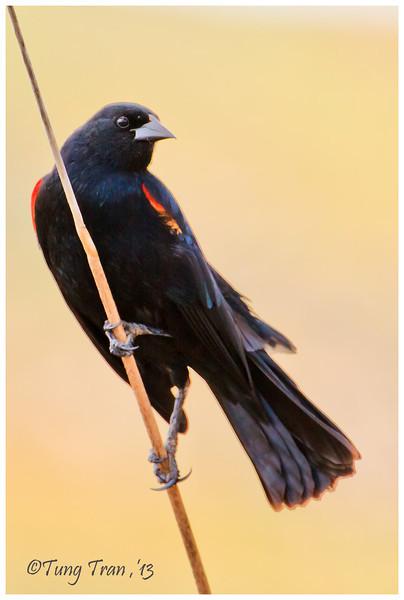 Red-shoulder blackbird (Male)