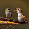 Allens' Hummingbirds food exchange