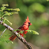 Male Red Cardinal - In Alert