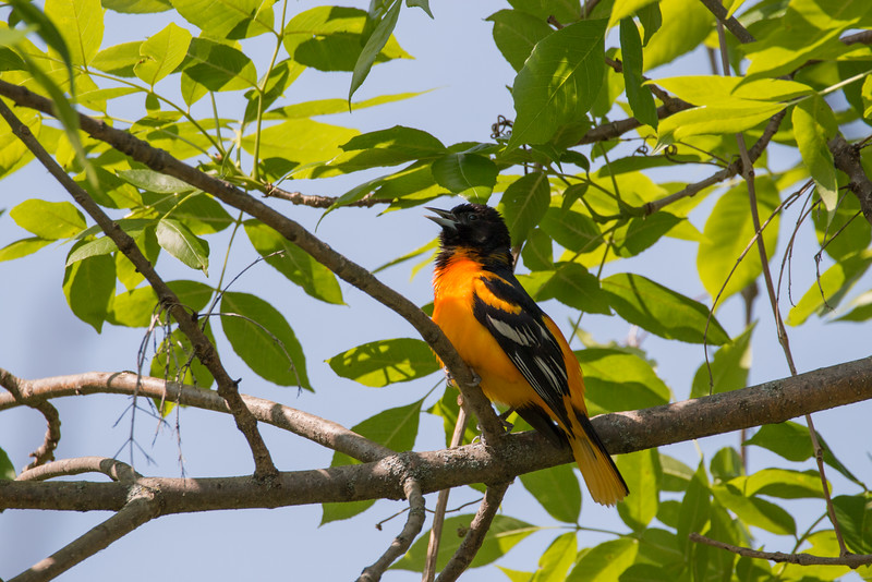 Singing Male Baltimore Oriole