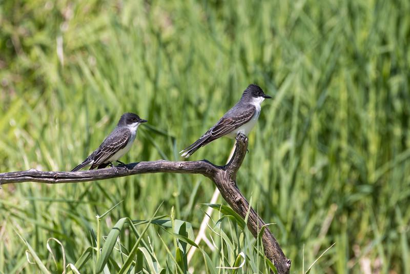 A Couple of Eastern Kingbird