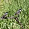 A Couple of Eastern Kingbird