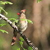 Female Red Cardinal