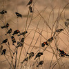 A Bunch of Red-Winged Blackbirds