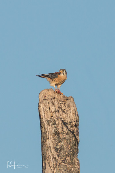 American Kestrel - Male Adult