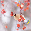 Berry Time - Cedar Waxwing