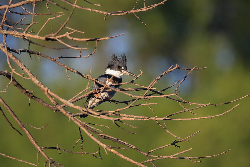 Adult Female Belted Kingfisher