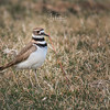 Bite To Eat -Killdeer