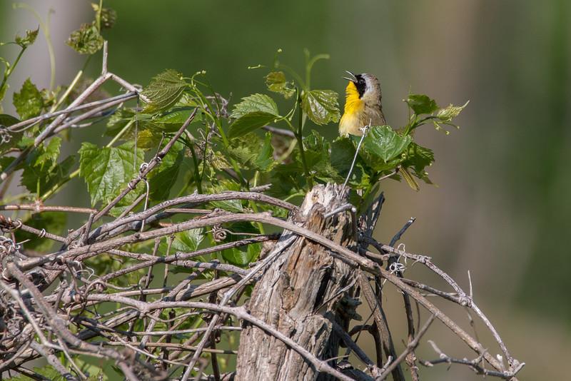 Singing Common Yellowthroat