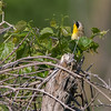 Singing Common Yellowthroat