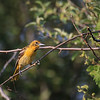 Juvenile Male Baltimore Oriole