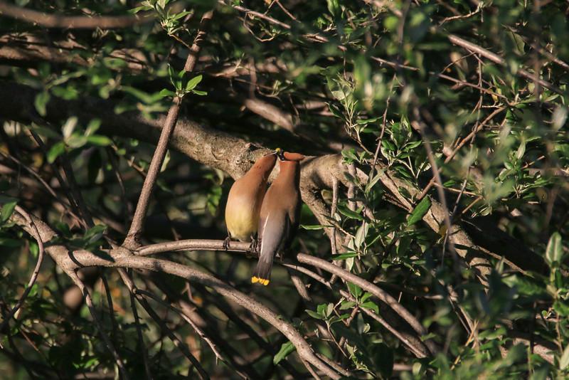 Cedar Waxwing - Sharing Is Loving