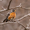 American Robin in Cold Spring Day