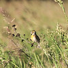 Singing Dickcissel