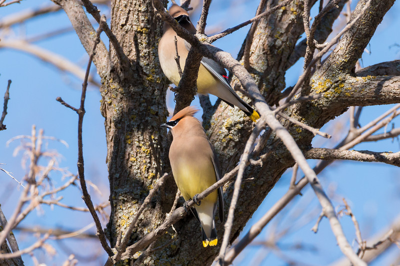 A Couple of Cedar Waxwing