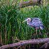 Great Blue Heron - Shake It Off